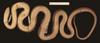 http://mczbase.mcz.harvard.edu/specimen_images/herpetology/large/R177202_A_cinereus_S_v.jpg