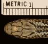 http://mczbase.mcz.harvard.edu/specimen_images/herpetology/large/R177823_P_agassizii_S_hd.jpg