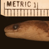 http://mczbase.mcz.harvard.edu/specimen_images/herpetology/large/R178334_A_major_hl.jpg