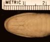 http://mczbase.mcz.harvard.edu/specimen_images/herpetology/large/R18060_B_caeruleus_hv.jpg