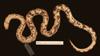 http://mczbase.mcz.harvard.edu/specimen_images/herpetology/large/R19206_A_major_v.jpg