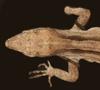 http://mczbase.mcz.harvard.edu/specimen_images/herpetology/large/R194075_A_sagrei_df.jpg