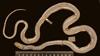http://mczbase.mcz.harvard.edu/specimen_images/herpetology/large/R1966_D_bernierii_S_d.jpg