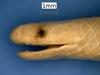 http://mczbase.mcz.harvard.edu/specimen_images/herpetology/large/R20600_T_albiceps_H_hl.jpg