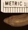 http://mczbase.mcz.harvard.edu/specimen_images/herpetology/large/R21046_A_aurantiacus_S_hd.jpg