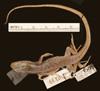 http://mczbase.mcz.harvard.edu/specimen_images/herpetology/large/R2139_L_chiliensis_S_d.jpg