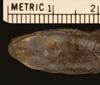http://mczbase.mcz.harvard.edu/specimen_images/herpetology/large/R2139_L_chiliensis_S_hd.jpg