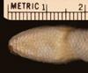 http://mczbase.mcz.harvard.edu/specimen_images/herpetology/large/R2139_L_chiliensis_S_hv.jpg
