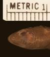 http://mczbase.mcz.harvard.edu/specimen_images/herpetology/large/R2153_L_guichenoti_hd.jpg