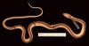 http://mczbase.mcz.harvard.edu/specimen_images/herpetology/large/R22065_C_piceivittus_schmidti_P_d.jpg