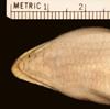 http://mczbase.mcz.harvard.edu/specimen_images/herpetology/large/R22352_S_scincus_scincus_S_hv.jpg