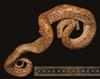 http://mczbase.mcz.harvard.edu/specimen_images/herpetology/large/R22442_E_cenchria_barbouri_H_d.jpg