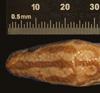 http://mczbase.mcz.harvard.edu/specimen_images/herpetology/large/R22442_E_cenchria_barbouri_H_hd.jpg