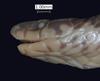 http://mczbase.mcz.harvard.edu/specimen_images/herpetology/large/R22650_C_melanota_H_hl.jpg