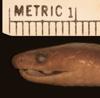 http://mczbase.mcz.harvard.edu/specimen_images/herpetology/large/R23363_A_guentheri_H_hl.jpg