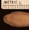 http://mczbase.mcz.harvard.edu/specimen_images/herpetology/large/R23363_A_guentheri_H_hv.jpg