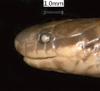 http://mczbase.mcz.harvard.edu/specimen_images/herpetology/large/R25300_C_apraeocularis_hl.jpg