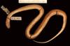 http://mczbase.mcz.harvard.edu/specimen_images/herpetology/large/R25676_C_nuchalis_nuchalis_P_v.jpg