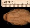 http://mczbase.mcz.harvard.edu/specimen_images/herpetology/large/R25791_B_schultzei_hv.jpg