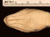 http://mczbase.mcz.harvard.edu/specimen_images/herpetology/large/R27496_C_algirus_intermedius_H_hv.jpg
