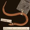 http://mczbase.mcz.harvard.edu/specimen_images/herpetology/large/R28467_A_guentheri_S_d.jpg