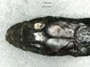 http://mczbase.mcz.harvard.edu/specimen_images/herpetology/large/R28468_C_variabilis_S_hd.jpg