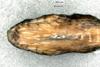 http://mczbase.mcz.harvard.edu/specimen_images/herpetology/large/R28468_C_variabilis_S_hv.jpg