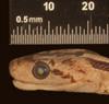 http://mczbase.mcz.harvard.edu/specimen_images/herpetology/large/R29241_E_flavirufa_phaescens_P_hl.jpg