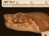 http://mczbase.mcz.harvard.edu/specimen_images/herpetology/large/R29778_C_aspera_H_hl.jpg