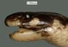 http://mczbase.mcz.harvard.edu/specimen_images/herpetology/large/R30402_C_gerardi_tanganyikae_H_hl.jpg
