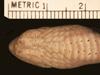 http://mczbase.mcz.harvard.edu/specimen_images/herpetology/large/R31867_C_fissidens_andresensis_H_hv.jpg