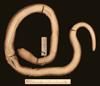 http://mczbase.mcz.harvard.edu/specimen_images/herpetology/large/R31867_C_fissidens_andresensis_H_v.jpg