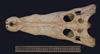 http://mczbase.mcz.harvard.edu/specimen_images/herpetology/large/R32100_C_novaeguineae_skull_d.jpg