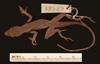 http://mczbase.mcz.harvard.edu/specimen_images/herpetology/large/R32329_A_lemurinus_P_d.jpg