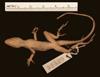 http://mczbase.mcz.harvard.edu/specimen_images/herpetology/large/R32329_A_lemurinus_P_v.jpg