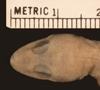 http://mczbase.mcz.harvard.edu/specimen_images/herpetology/large/R3252_C_malcolmsmithi_H_hd.jpg