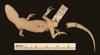 http://mczbase.mcz.harvard.edu/specimen_images/herpetology/large/R3252_C_malcolmsmithi_H_v.jpg