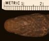 http://mczbase.mcz.harvard.edu/specimen_images/herpetology/large/R33359_L_cobella_hd.jpg