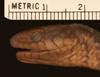 http://mczbase.mcz.harvard.edu/specimen_images/herpetology/large/R33359_L_cobella_hl.jpg