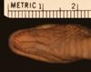 http://mczbase.mcz.harvard.edu/specimen_images/herpetology/large/R33359_L_cobella_hv.jpg