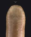 http://mczbase.mcz.harvard.edu/specimen_images/herpetology/large/R33606_L_maximus_P_hd.jpg