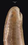 http://mczbase.mcz.harvard.edu/specimen_images/herpetology/large/R33606_L_maximus_P_hl.jpg