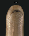 http://mczbase.mcz.harvard.edu/specimen_images/herpetology/large/R33606_L_maximus_P_hv.jpg