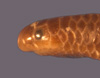 http://mczbase.mcz.harvard.edu/specimen_images/herpetology/large/R33928_L_goudoti_goudoti_hl.jpg