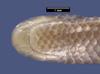 http://mczbase.mcz.harvard.edu/specimen_images/herpetology/large/R33928_L_goudotii_goudotii_hv.jpg