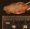 http://mczbase.mcz.harvard.edu/specimen_images/herpetology/large/R33947_C_monensis_granti_H_hd.jpg