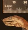 http://mczbase.mcz.harvard.edu/specimen_images/herpetology/large/R33947_C_monensis_granti_H_hl.jpg