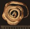 http://mczbase.mcz.harvard.edu/specimen_images/herpetology/large/R33947_C_monensis_granti_H_v.jpg