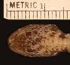 http://mczbase.mcz.harvard.edu/specimen_images/herpetology/large/R3564_S_nebulata_nebulata_hv.jpg