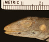 Media of type image, MCZ:Herp:R-36412 Identified as Ameiva exsul type status Paratype of Ameiva birdorum.